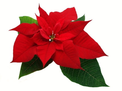 Flowers-poinsettia143319268.jpg