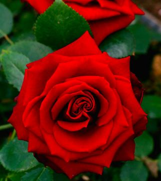 ROSES-546184.jpg
