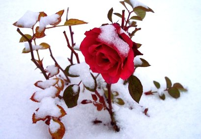 Snow_Rose_HD_Photos_Free_Download%28lovableimages.blogspot.com%29+%282%29.jpg