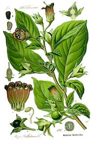 490px-Illustration_Atropa_bella-donna0_clean.jpg