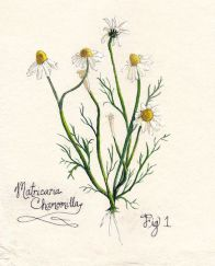 chamomile-drawing-10.jpg